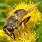 Blinde bij: zweefvlieg met het uiterlijk van de honingbij