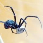 Beet, gif en web van de zwarte weduwe (Latrodectus mactans)