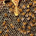 Bijensterfte, wat is de oorzaak? Pesticiden en honger