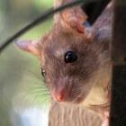 Ratten in huis, hoe herken je ze?