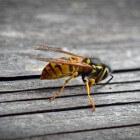 Alles over steken van wespen, bijen en horzels