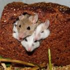 Muizen overlast. Wat doet u tegen dit ongedierte in huis