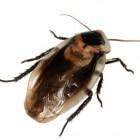 Kakkerlakken in huis, een serieus gevaar voor de gezondheid