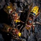 Wespen, wat te doen bij overlast van deze insecten
