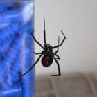 De onstuitbare opmars van de zwarte weduwe