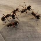 Mieren, zeer nuttige dieren maar hou ze wel buitenshuis