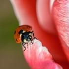 Een lieveheersbeestje (coccinellidae) in de tuin