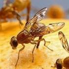 Fruitvliegjes plaag: effectief fruitvliegjes bestrijden