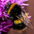 De hommel- en bijensteek