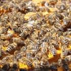 Honingbijen - harde werkers zijn het!