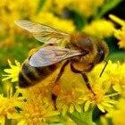 Hoe bijen honing maken en de bijenverdwijnziekte