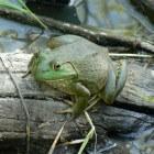 Brulkikkers en waternavel: bedreigingen voor flora en fauna