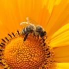Bijensterfte, oorzaken en gevolgen