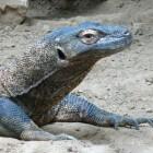 Komodo National Park, Varanen in Indonesie