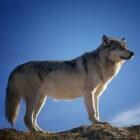 Leven er wolven in Nederland?