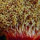 Buisjeszwammen zijn paddenstoelen