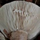 Melkgevende paddenstoelen: de melkzwammen