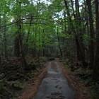 Aokigahara bos in Japan; beter bekend als het zelfmoordbos