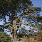 De natuurwaarde van vrij opgroeiende bomen