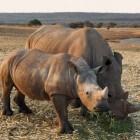De voortplanting van de witte en zwarte neushoorn