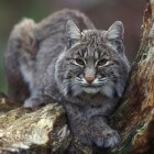 Wordt de lynx ooit een vaste bewoner van Nederland?