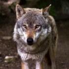 Worden wolven ooit vaste bewoners van Nederland?