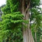 De imposante moerascipres als park- of straatboom