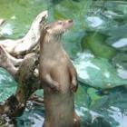De terugkomst van de Europese otter