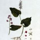 Dalkruid of Maianthemum bifolium