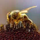 Maak uw tuin of balkon vriendelijk voor bijen