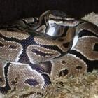 Python Regius - De koningspython