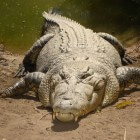 De zeekrokodil, de grootste krokodil op aarde