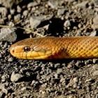 Slangen in Spanje: alle giftige en ongiftige soorten