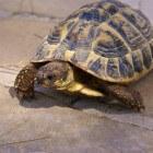 Landschildpad als huisdier