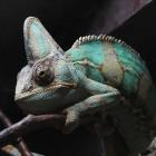 Kameleon: Hoe en waarom verandert dit reptiel van kleur?