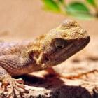 De gekko: grappige reptielsoort