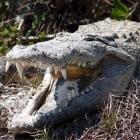 Krokodillen: de kaaimannen (Caimaninae)