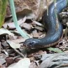 Giftige slangen: De taipan