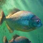 De piranha, echt zo'n agressieve vis?