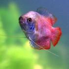 Colisa lalia - Dwerggoerami   Vreedzame aquariumvis