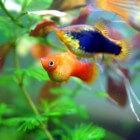 Xiphophorus maculatus - Platy   vreedzame aquariumvis