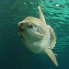 Maanvis in de Noordzee - Klompvis en zwemmende kop