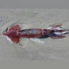 Pijlinktvis in zee, op het strand en op het menu