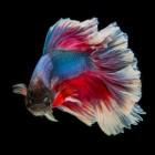Betta Splendens - Kempvis | Een prachtige aquariumvis