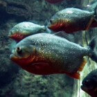 De tomeloze vraatzucht van piranha's