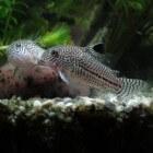 Corydoras-soorten   verzorging & inrichting van het aquarium