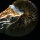 Nautilus – inktvis met uitwendige schelp