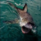 De grootste witte haaien die op Aarde voorkomen