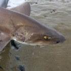 Gevlekte gladde haai in Noordzee en Waddenzee