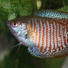 Labyrintvissen - Belontiidae